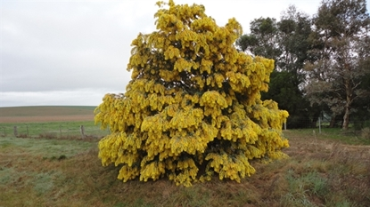 Picture of Acacia baileyana