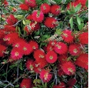 Picture of Callistemon citrinus