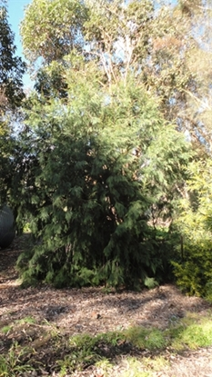 Picture of Allocasuarina littoralis