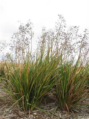 Picture of Dianella longifolia