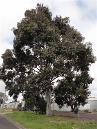 Picture of Corymbia maculata