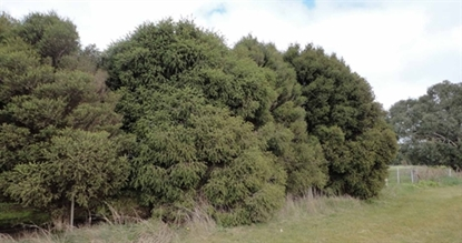 Picture of Melaleuca stypheliodes