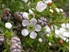Picture of Leptospermum continentale