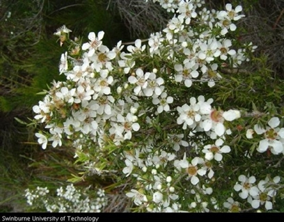 Picture of Leptospermum myrsinoides