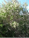 Picture of Melaleuca armillaris