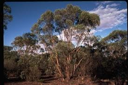 Picture of Eucalyptus polybractea