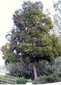 Picture of Acacia melanoxylon