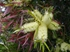 Picture of Callistemon salignus