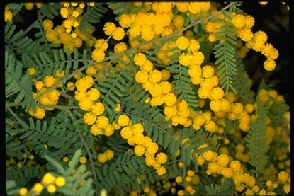 Picture of Acacia cardiophylla