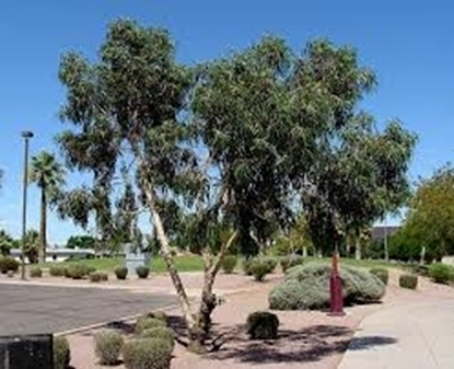 Picture of Eucalyptus erythrocorys