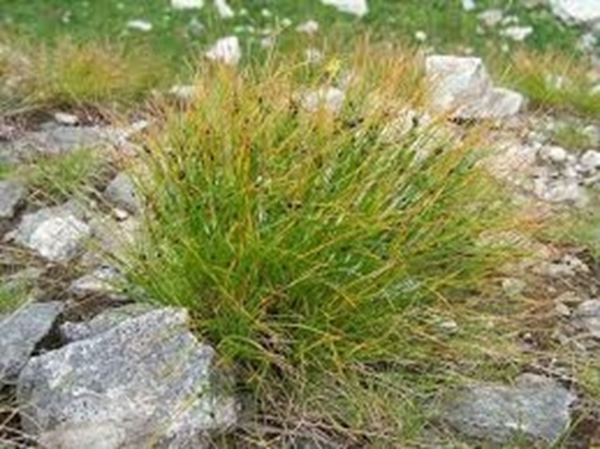 Picture of Juncus semisolidus