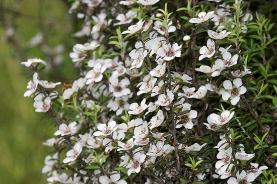 Picture of Leptospermum scoparium (coastal)