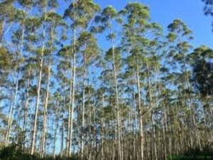 Picture for category Large Trees