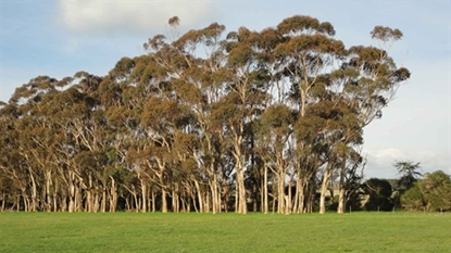 Picture of Eucalyptus cladocalyx
