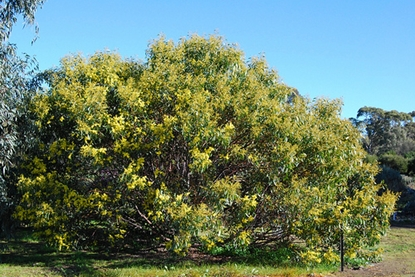 Picture of Acacia pycnantha