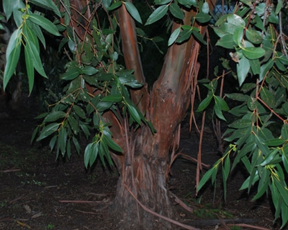 Picture of Eucalyptus kitsoniana