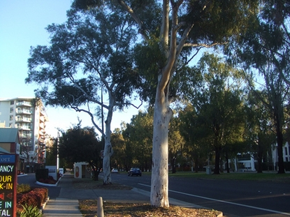 Picture of Eucalyptus mannifera
