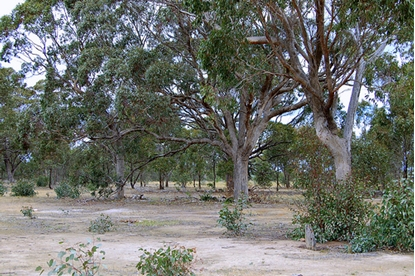 Picture of Eucalyptus microcarpa