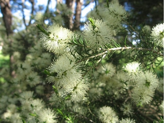 Picture of Melaleuca ericifolia