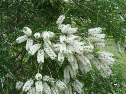 Picture of Melaleuca lanceolata