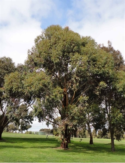 Picture of Eucalyptus botryoides