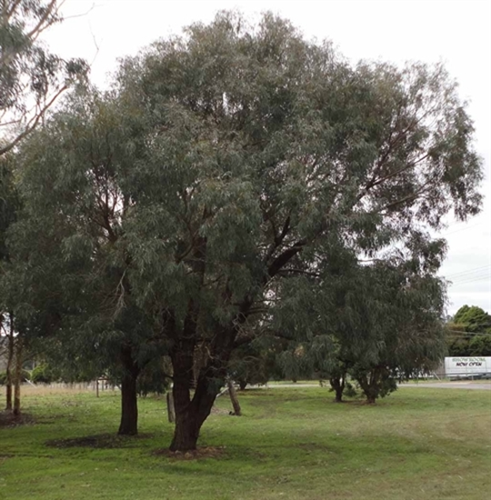 Picture of Eucalyptus nicholii