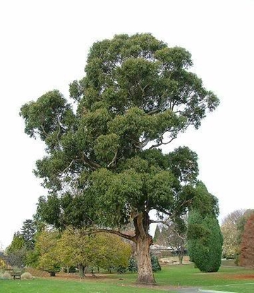 Picture of Eucalyptus globulus