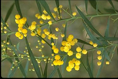 Picture of Acacia retinodes