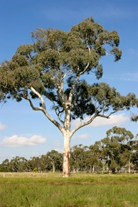 Picture of Eucalyptus rubida
