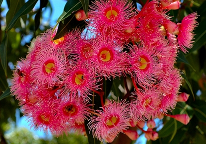 Picture of Corymbia ficifolia