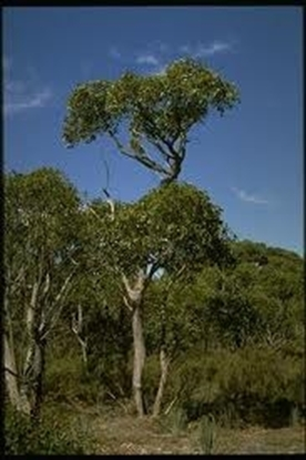 Picture of Eucalyptus baxterii