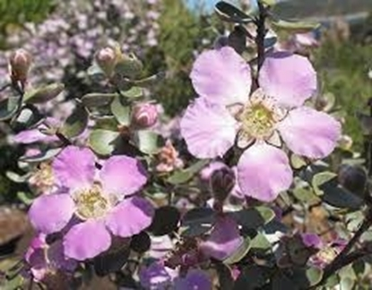 Picture of Leptospermum sericeum