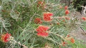 Picture for category Callistemon