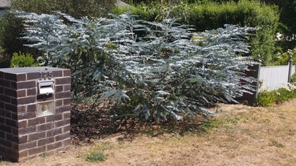 Picture of Eucalyptus pulverulenta 'baby blue'